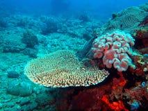 石的珊瑚 免版税图库摄影