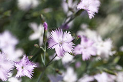 石竹caryophyllus康乃馨,开花在庭院里的淡紫色花 图库摄影
