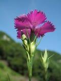 石竹seguieri在自然高山背景中 免版税库存照片