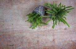 石罐的各种各样的catus/多汁植物 木背景的微型房子植物与您自己的文本的拷贝空间 免版税库存图片