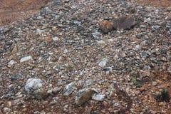 石英岩层数在岩石鹰肖象土墩的 库存照片