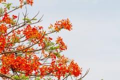 石莲子pulcherrima五颜六色的绽放夏天 库存照片