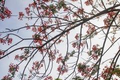 石莲子pulcherrima开始每年开花4月夏天 库存照片