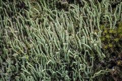 石蕊属coniocraea在智利巴塔哥尼亚的Puyehue国立公园 免版税库存图片