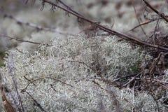 石蕊属rangiferina或驯鹿地衣或驯鹿青苔或北美驯鹿青苔 蓝细菌和真菌微观地衣共生  免版税库存图片