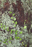 石韦属木头的piloselloides植物 免版税图库摄影