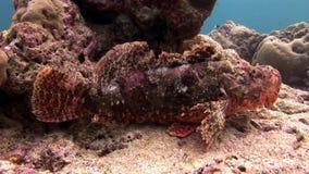 石鱼在马尔代夫掩没在海底的水中 股票录像