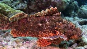 石鱼在马尔代夫掩没在海底的水中 股票视频