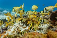 石鲈, Anisotremus virginicus学校,游泳在珊瑚礁在加勒比 库存照片