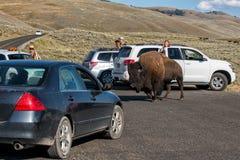 黄石,美国- 2012年8月, 18 -在旅游汽车附近的水牛城北美野牛在Lamar谷黄石横穿路 免版税库存照片
