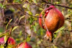 石榴、果子和植物 免版税库存图片
