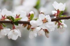 石头城樱桃,李属tomentosa 落叶灌木宏指令视图 花蕾软的焦点 免版税库存图片
