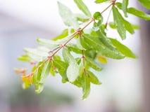 石榴树在雨中 库存照片