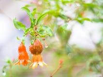 石榴树在雨中 免版税图库摄影