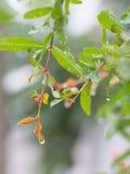 石榴树在雨中 免版税库存图片