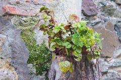 石头的植物 库存照片
