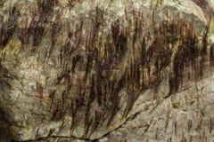 石头的海藻 纹理 免版税库存照片