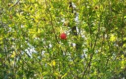 石榴石树枝和果子 库存图片