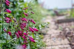 石榴石钓钟柳花卉生长由庭院道路 库存图片