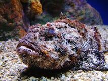 石头鱼 免版税库存图片