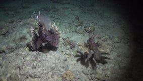 石头鲈水下在背景海洋风景在红海 影视素材