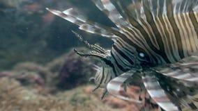 石头鲈水下在菲律宾野生生物珊瑚  股票录像
