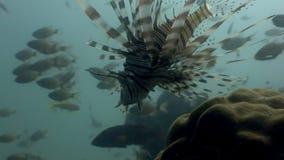 石头鲈水下在菲律宾野生生物珊瑚  影视素材