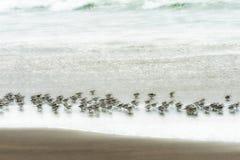 矶鹞群在寻找食物的海浪跑 免版税库存图片