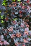 矾根属植物花 库存照片