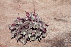 矾根属植物 图库摄影