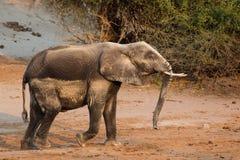 矿物沙子覆盖物大象 库存图片