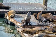码头39 -旧金山,加利福尼亚,美国海狮在Fishermans码头的 库存图片