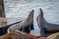 码头39 -旧金山,加利福尼亚,美国海狮在Fishermans码头的 免版税库存图片