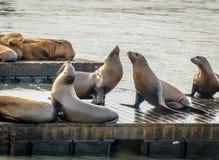 码头39 -旧金山,加利福尼亚,美国海狮在Fishermans码头的 免版税库存照片