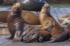 码头39海狮 免版税图库摄影