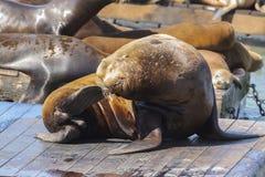 码头39海狮 免版税库存图片