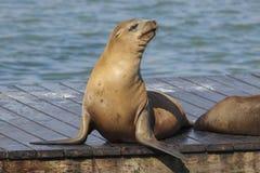 码头39海狮 免版税库存照片