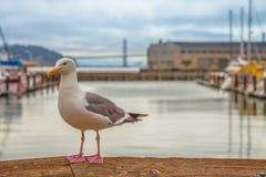 码头39海鸥 图库摄影