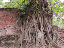 砂岩菩萨的头在树的根源,阿尤特拉利夫雷斯,泰国 图库摄影