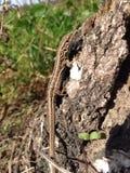 砂蜥蜴(波兰) 免版税库存照片