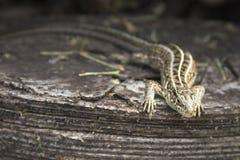 砂蜥蜴 库存图片