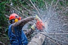 砍一棵大树的专业伐木工人 库存照片
