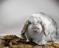 砍三色的兔子 免版税库存照片