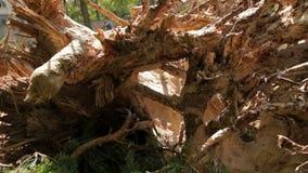砍伐森林杉树 影视素材