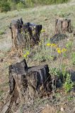 砍伐森林树桩 库存图片
