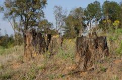 砍伐森林树桩 图库摄影