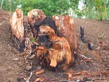 从砍伐森林的树桩 图库摄影