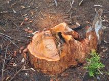 从砍伐森林的树桩 免版税库存照片