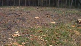 砍伐森林 赤裸一块土地在缩短的树以后的森林里 股票视频