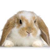 砍兔子 免版税库存图片